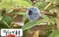 C-bulueberry_20180615075211e2f.jpg