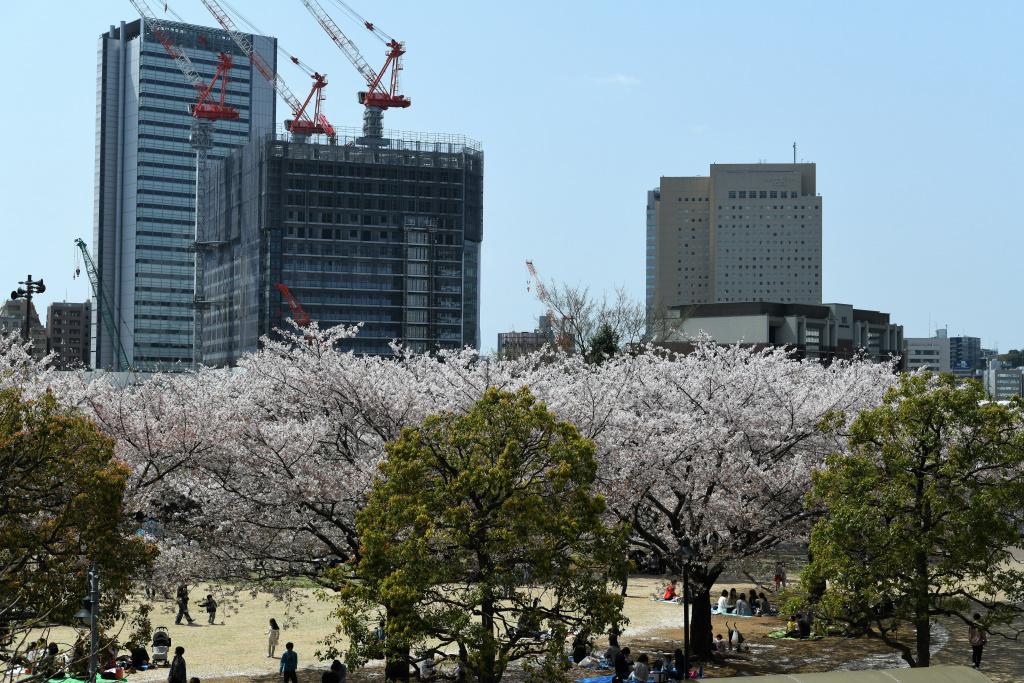 汽車道沿いの桜 1