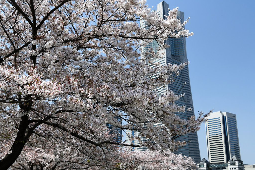 桜と横浜ランドマークタワー