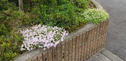 コーラルコートの庭20180427 (4)
