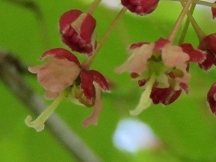 モミジ(花) (8)