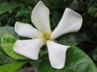 5弁花のクチナシ