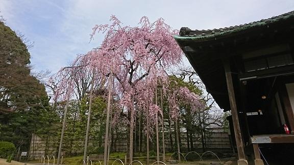 浅草 しだれ桜