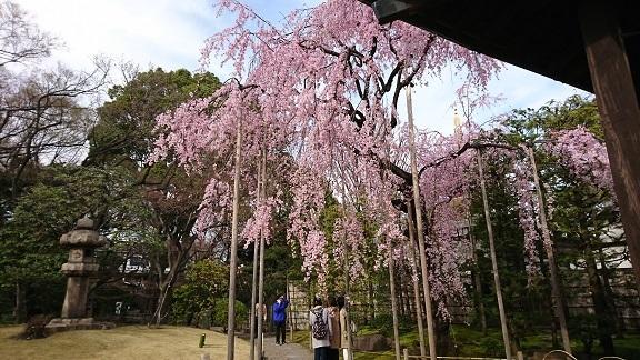 浅草 しだれ桜 2