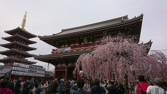 浅草 しだれ桜 3