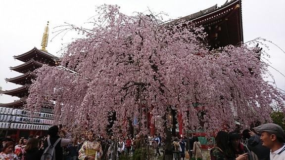 浅草 しだれ桜 4