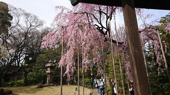 浅草 しだれ桜 5