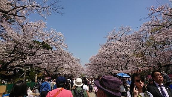 上野 桜 2