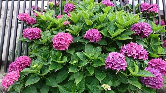 紫陽花 9