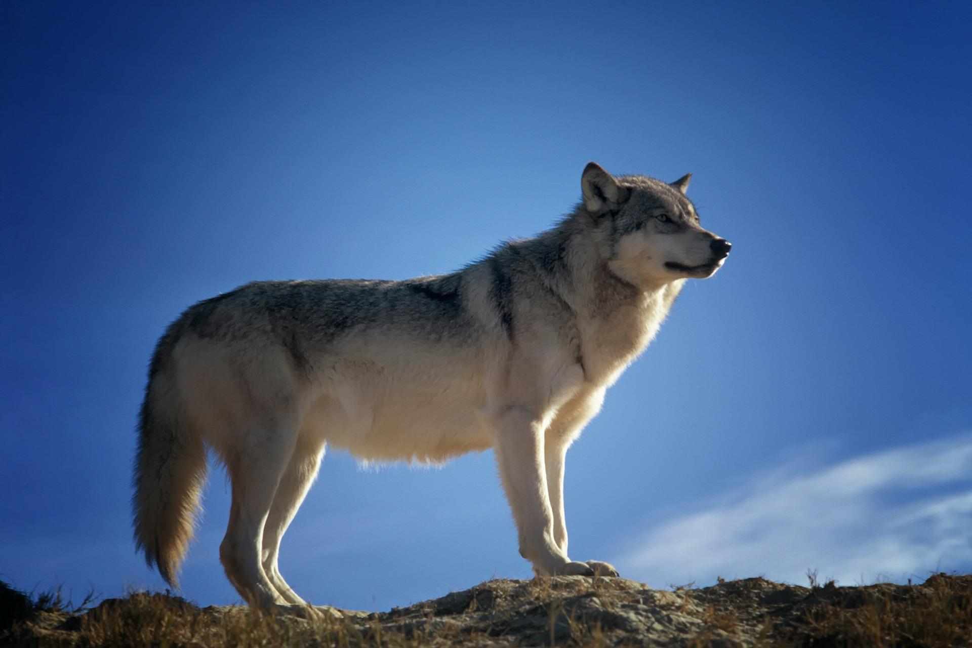 wolf-142173_1920.jpg