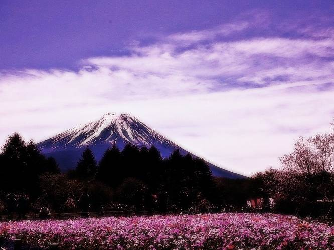 ⑤柴桜ソフト
