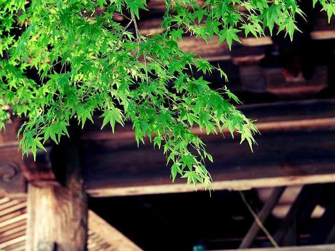 ④モミジ円覚寺