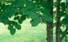Dhp386菩提樹