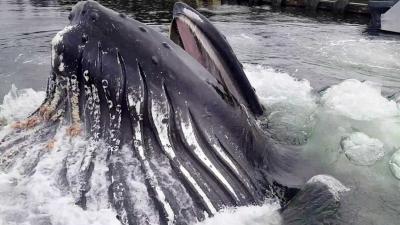 【衝撃!】こんな狭いヨットハーバーに巨大クジラが出現!