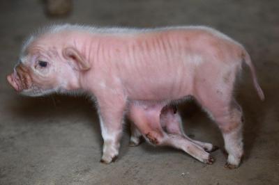 【衝撃!】足が6本ある豚!