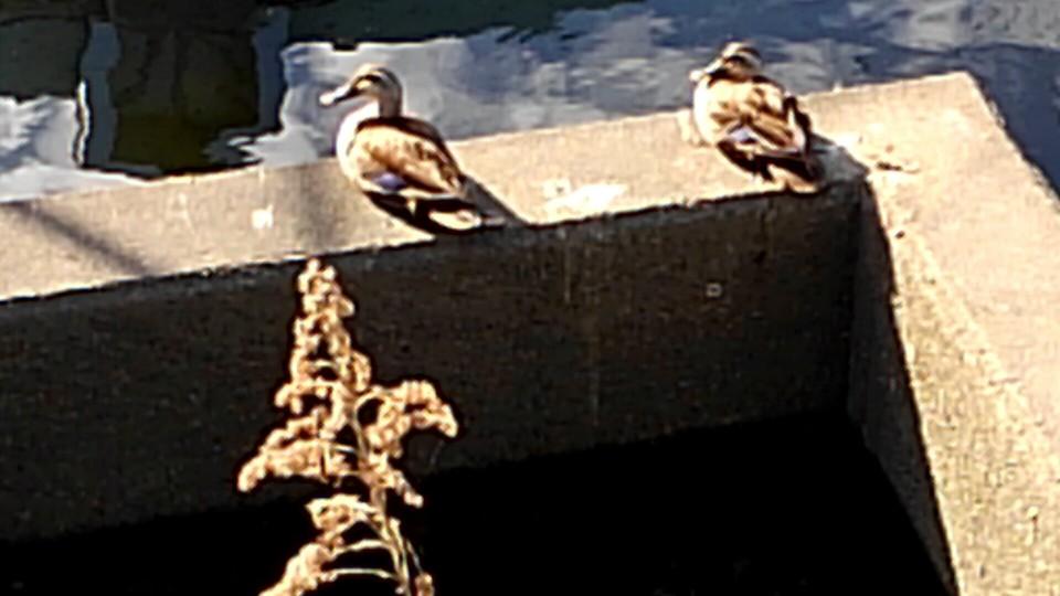 日向ぼっこする鴨カップル