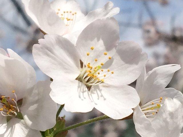 20180403 桜花びら