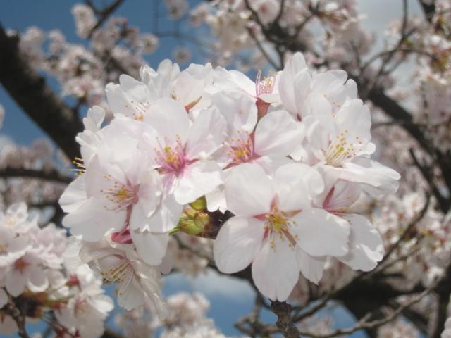 丸岡城 桜 グループ