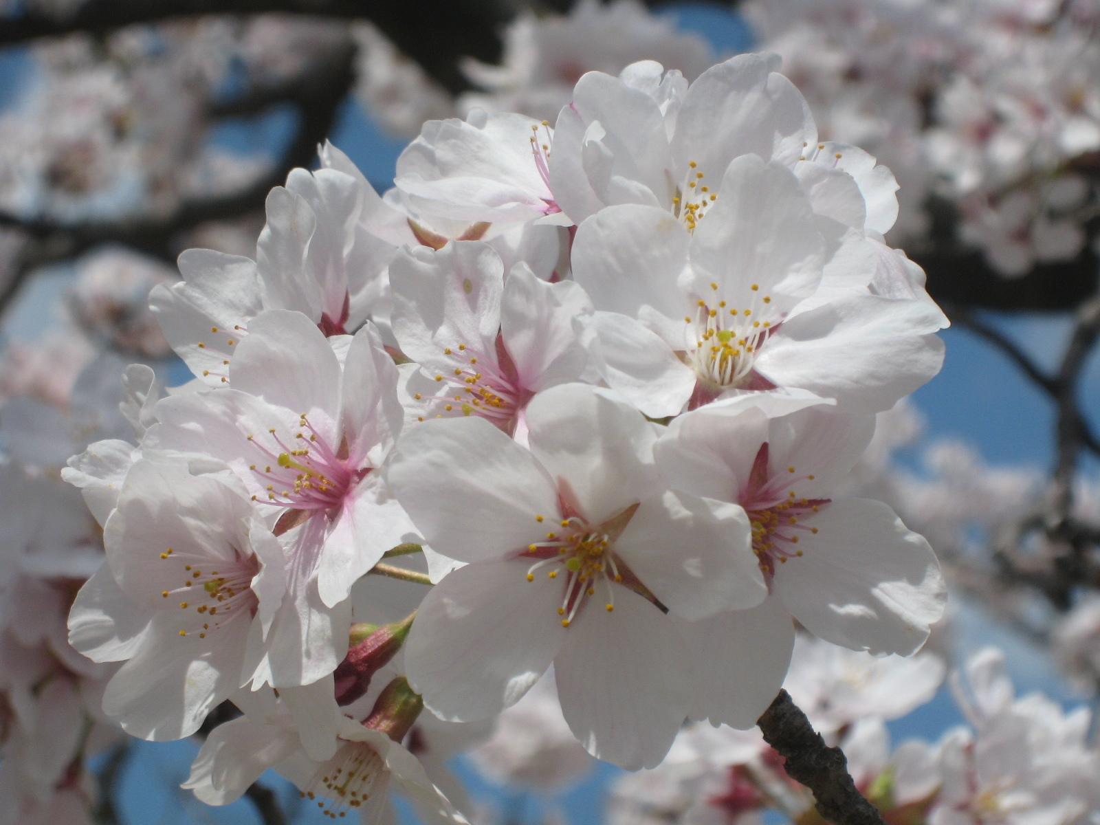 丸岡城 桜グループ
