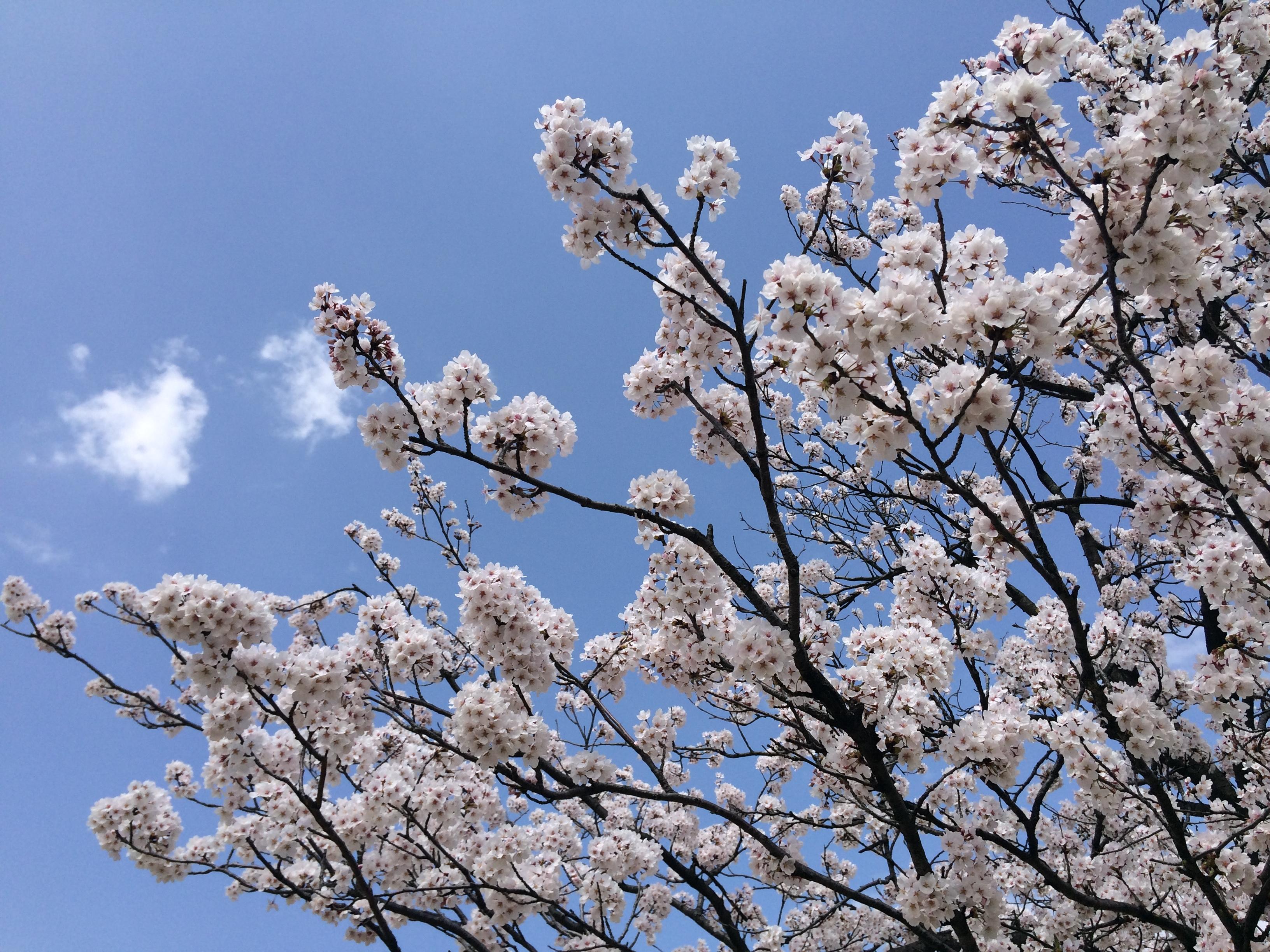 丸岡城 桜と青空