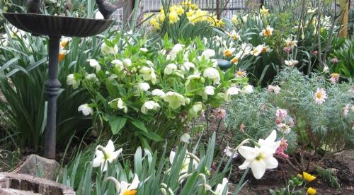 庭 スイセンが花盛り
