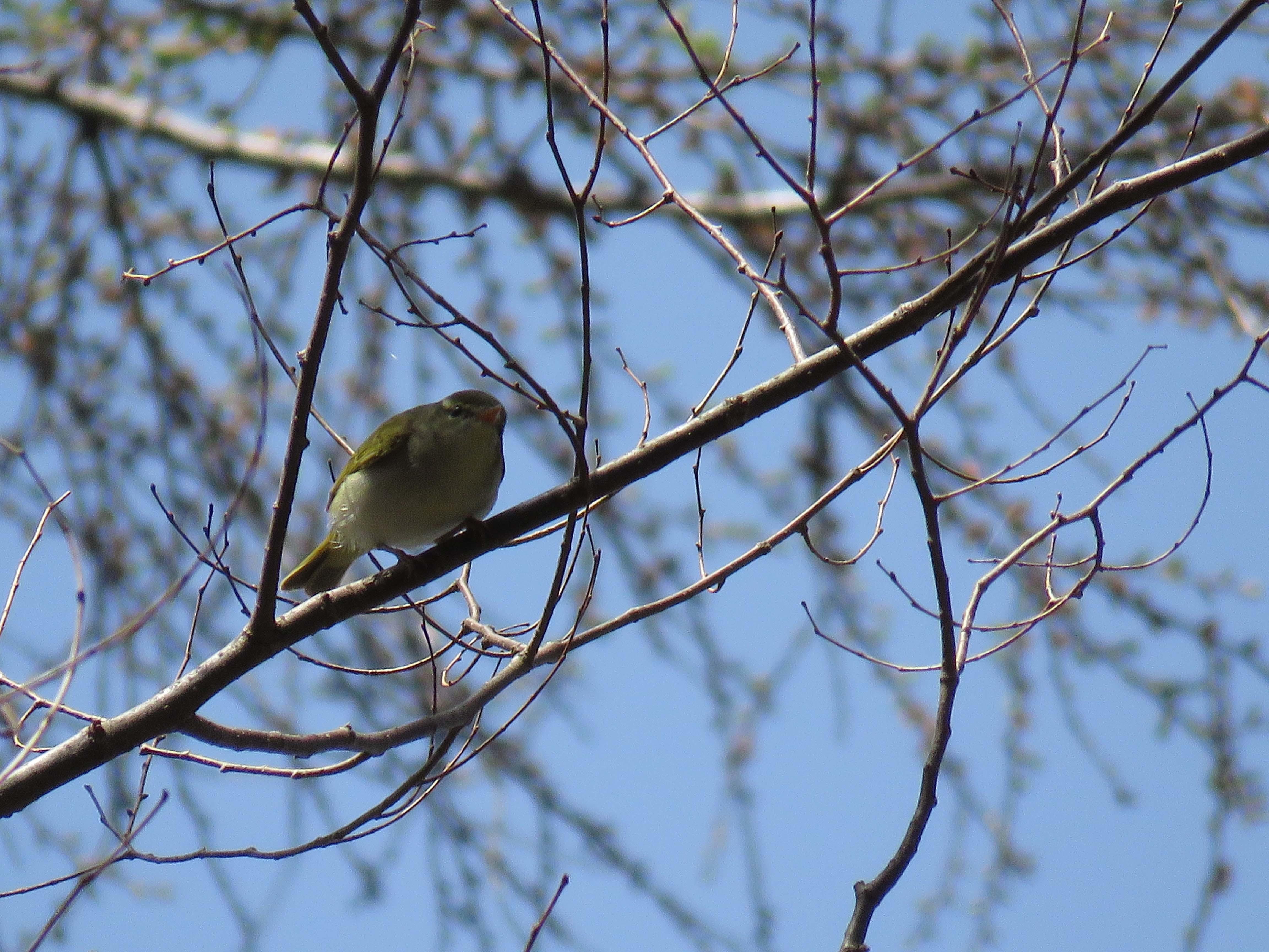 小鳥A_180416