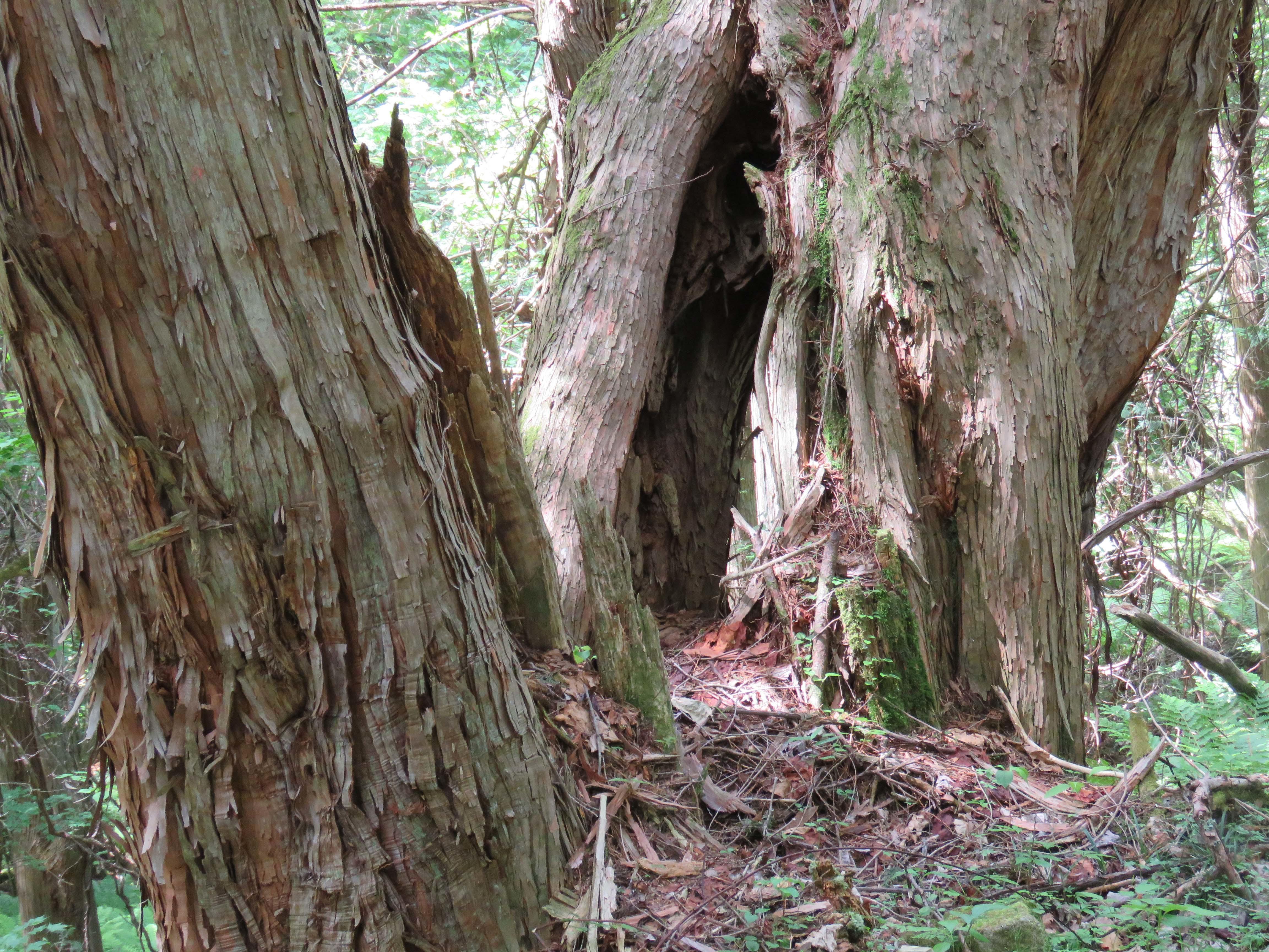 巨木A_180608