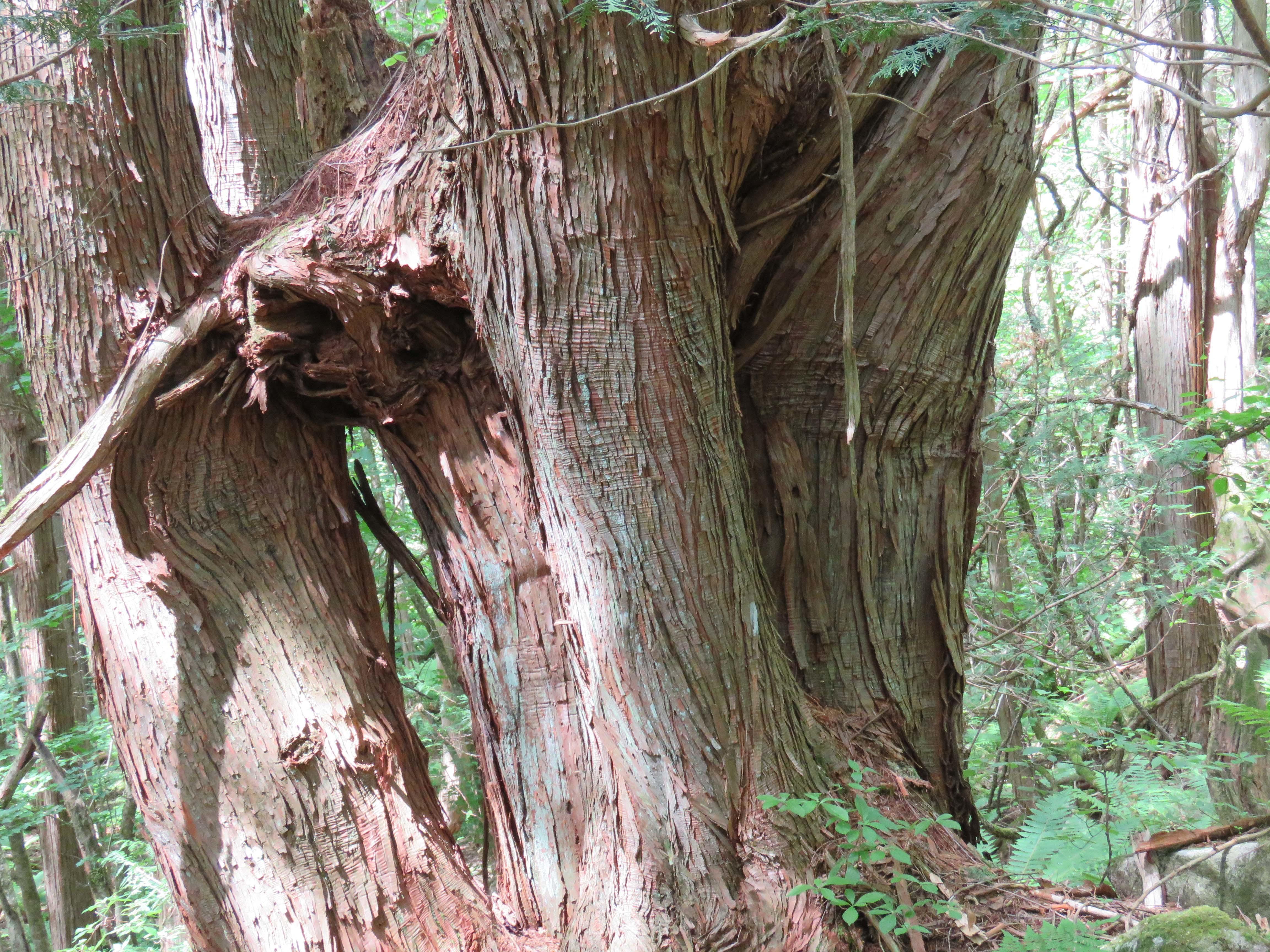 巨木B_180608