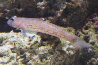 ホシノハゼ(魚津)