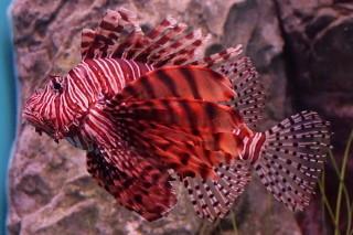 ハナミノカサゴ(海卵)