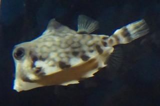 ラクダハコフグ(海響)