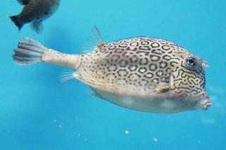 ハニーコウムカウフィッシュ(海響)