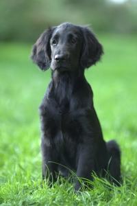 https://publicdomainq.net/flat-coated-retriever-dog-animal-0020268/