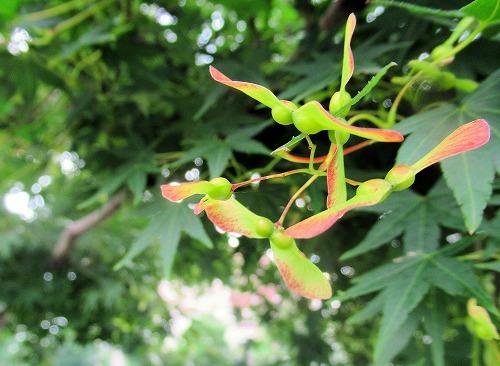 イロハモミジの翼果