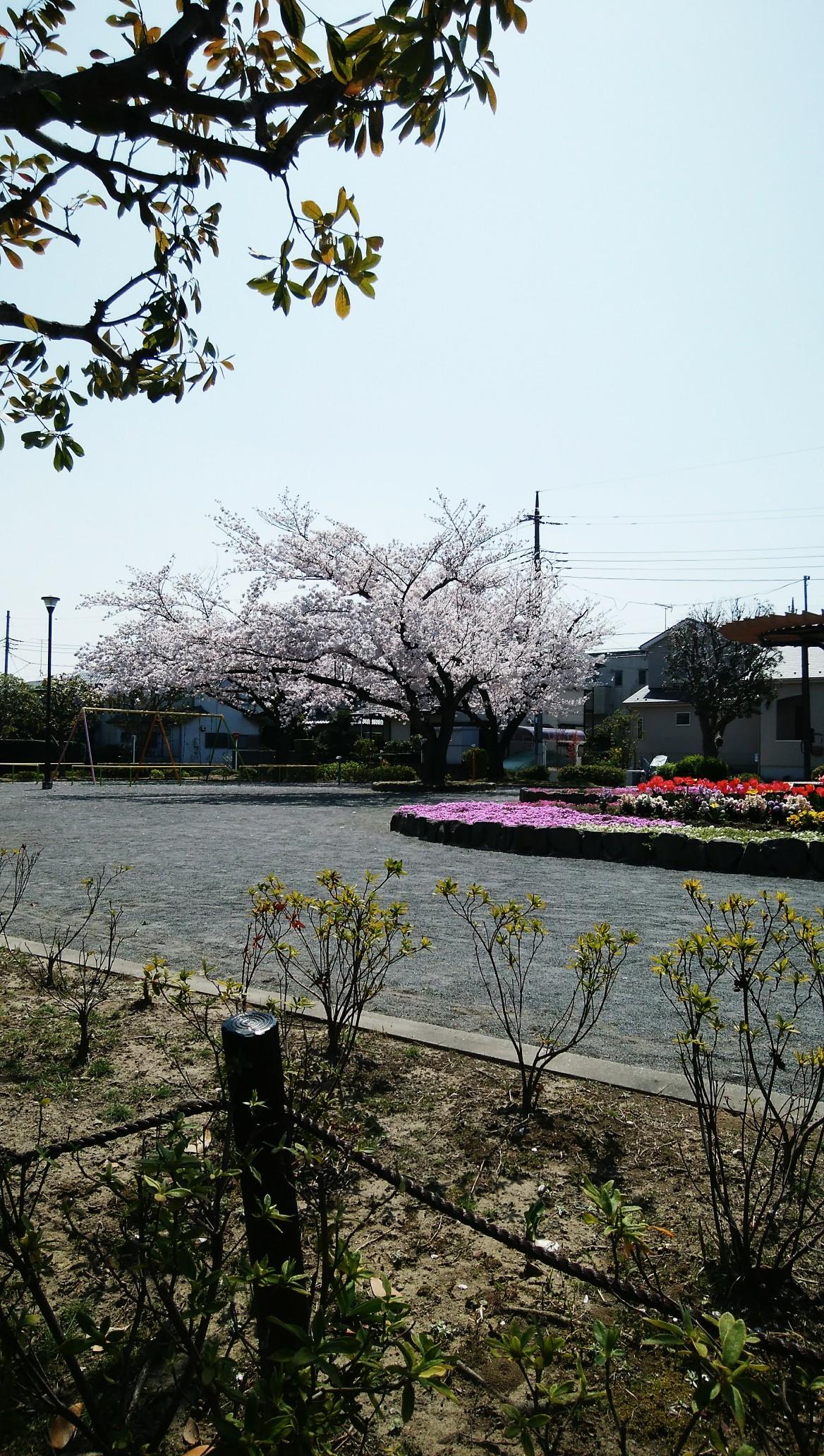 桜2018関ヶ谷公園