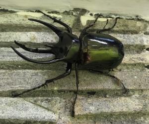 Atlas_beetle.jpg