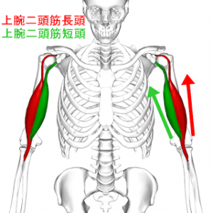 Biceps_brachii_muscle06-3.png
