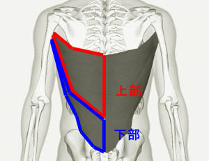 Latissimus_dorsi_muscle_back_20180406214305e8d.png