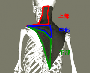 Trapezius_lateral4_20180406214353195.png