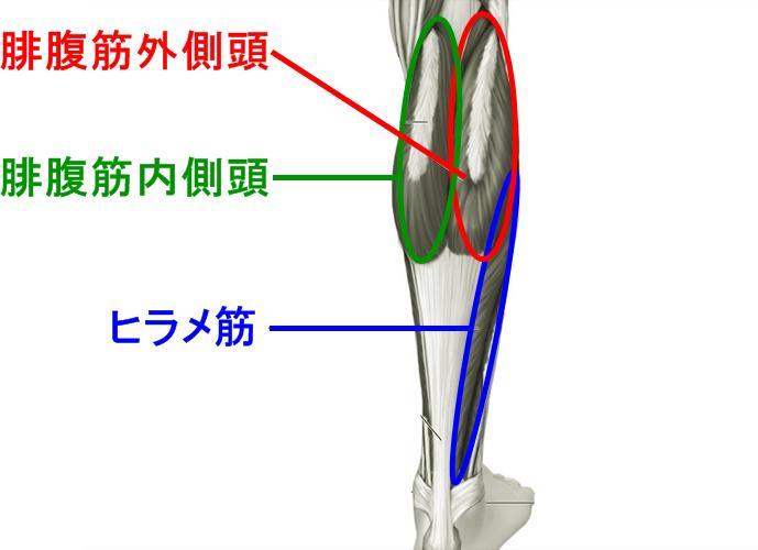calf-anatomy.png