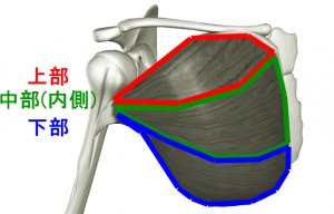pectoralis-major_20180404195227065.png