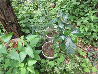 コーヒーの木 (2)-5