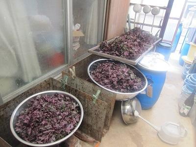 紫蘇80本ー1