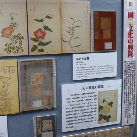 江戸の園芸文化は「幻の」黄色いアサガオまで生み出した