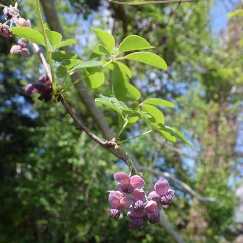 木通咲く 野山に五葉の 園芸種