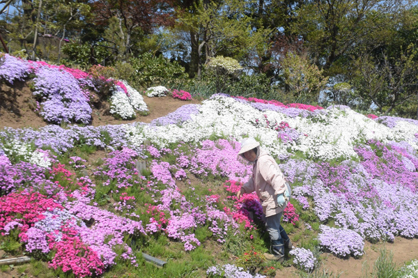 法面に 一面の筑波画く 芝桜