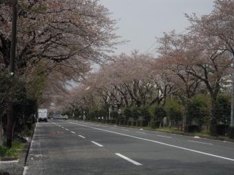 南ヶ丘桜並木180403
