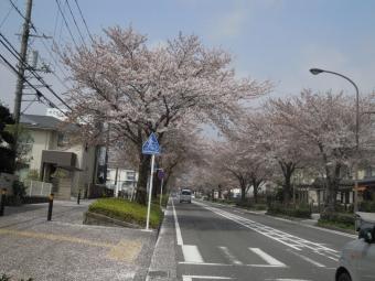 246超えての桜並木180403