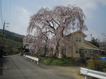 三廻部枝垂れ桜180403-2