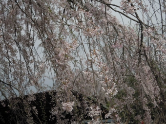 三廻部枝垂れ桜180403-1